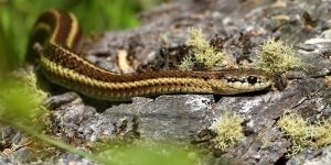 Get rid of garter snake in house