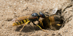 how to get rid of ground bees in yard