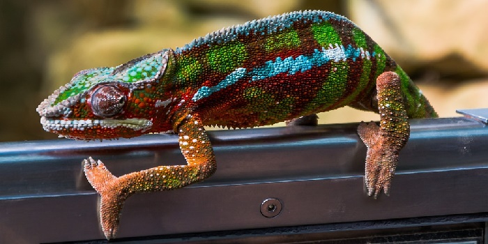 how-to-get-rid-of-chameleons-in-the-house