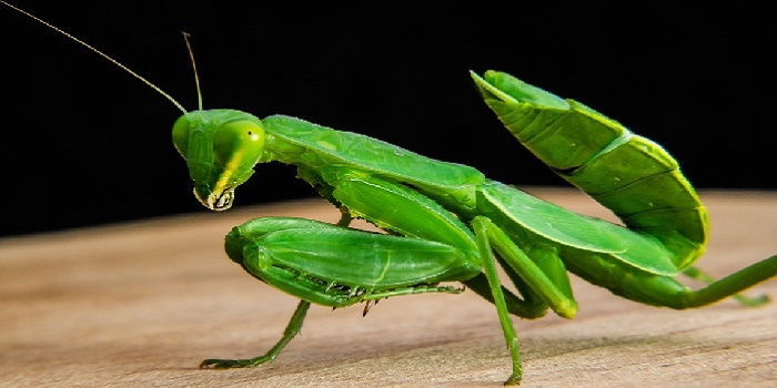get rid of praying mantis