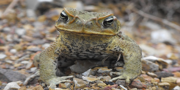 stop cane toads in backyard