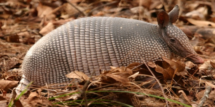 what-is-the-best-bait-for-armadillos