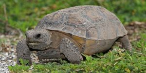 How to Get Rid of a Gopher Tortoise