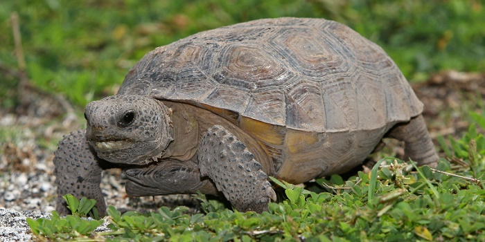 How to Get Rid of a Gopher Tortoise on Your Property?