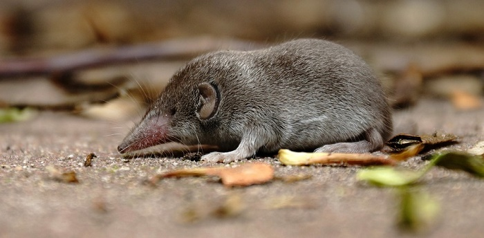 are shrews poisonous