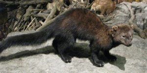 how to bait a fisher cat