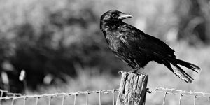 scare off crows