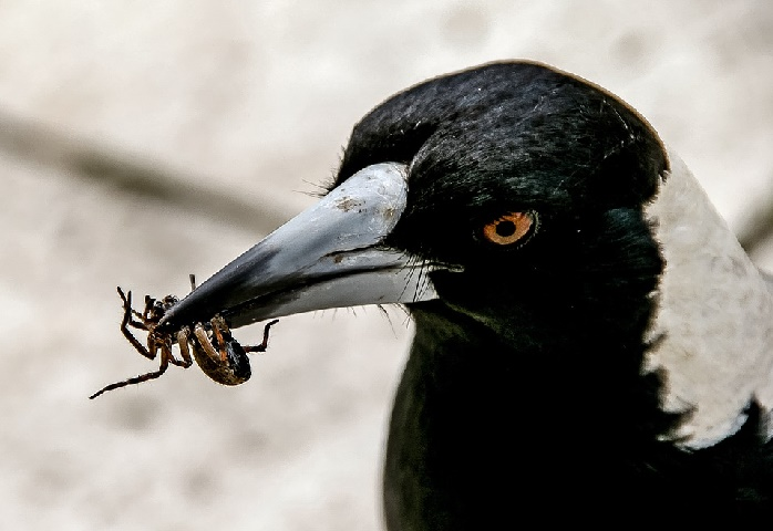 magpie catching insect