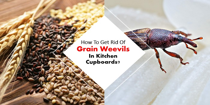 how to get rid of grain weevils in kitchen cupboards