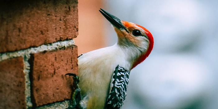 deter woodpeckers from cedar siding