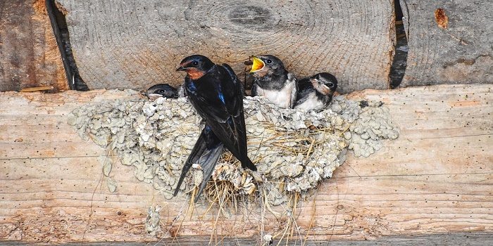 how to keep barn swallows out of garage