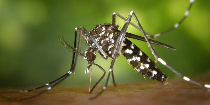 Are Asian Tiger Mosquitos Dangerous