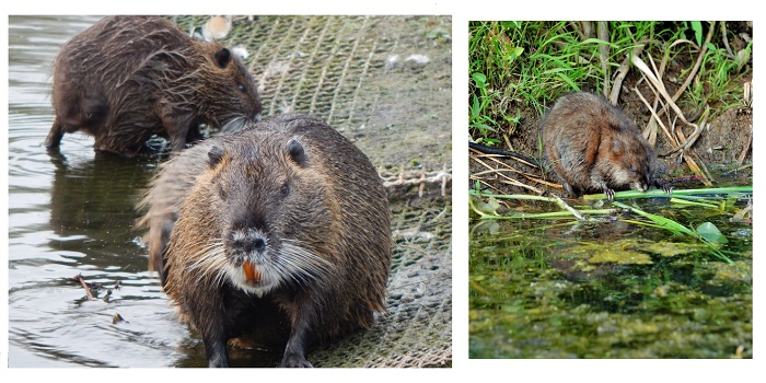 Are Muskrats Bad for Your Pond