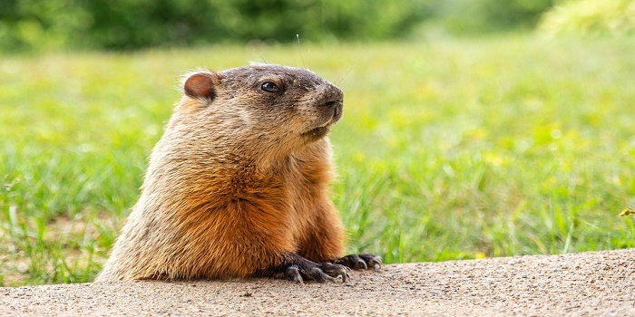 How to Trap a Woodchuck