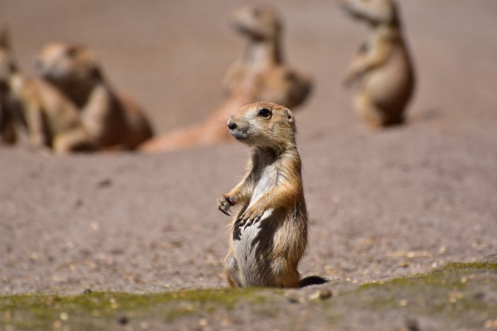 Facts about Prairie Dogs