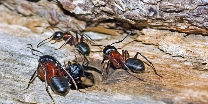 How to Get Rid of Fire Ant Colonies