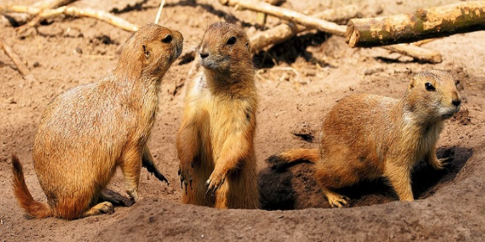 Prairie Dogs facts
