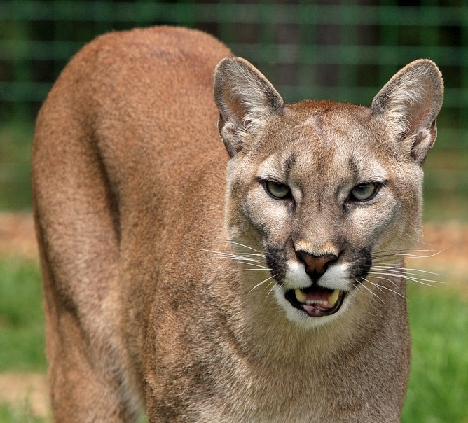 how to avoid a cougar attack