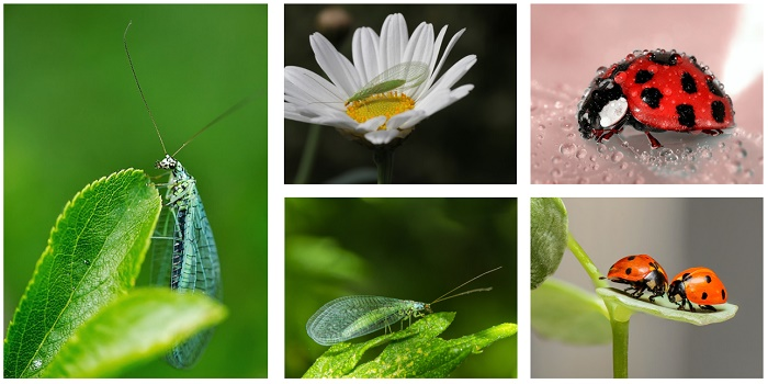 lacewings and ladybugs