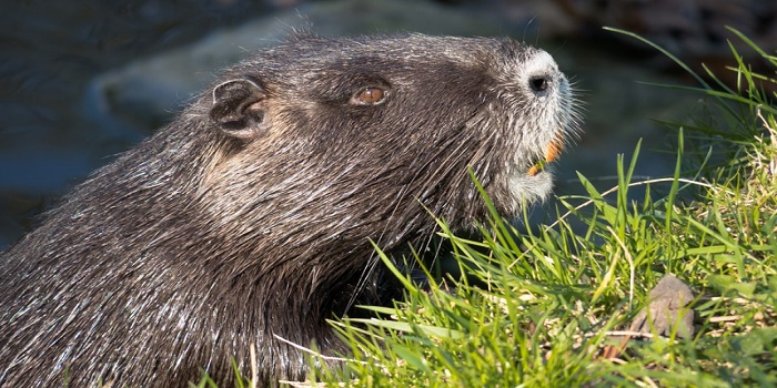 how to get rid of nutria rats