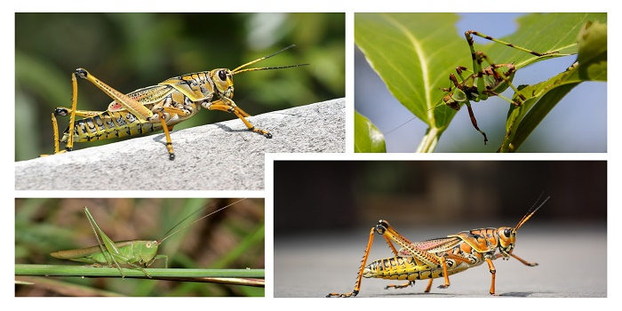 How to Stop Grasshoppers and Katydids