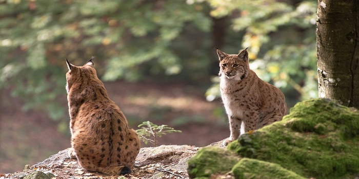 Best Bait for Trapping Bobcats