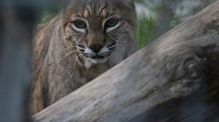 Bait for Luring a Wild Bobcat