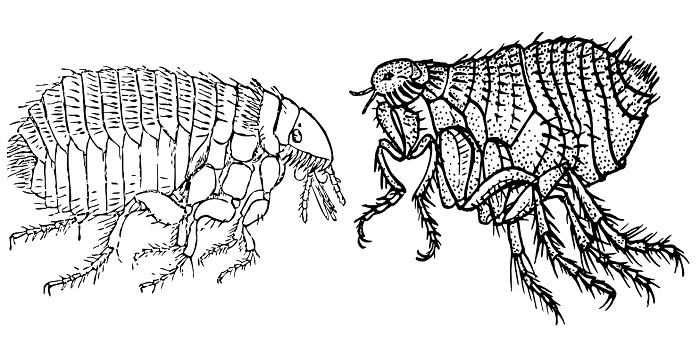 Bugs That Look and Jump Like Fleas