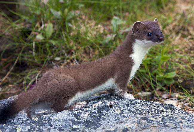 How to Get Rid of Stoats and Weasels