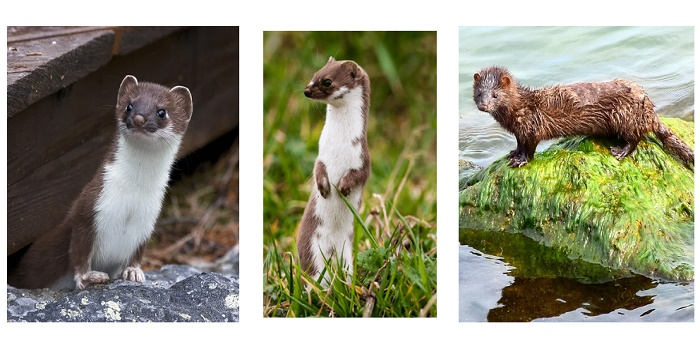 Stoats, Weasels, and Minks