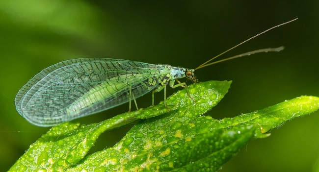 are lacewings dangerous