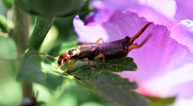 insecticides for earwigs