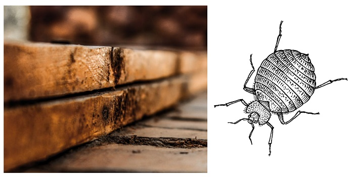can bed bugs chew through wood